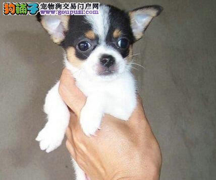 可爱吉娃娃,纯种,吉娃娃幼犬,可上门挑选。