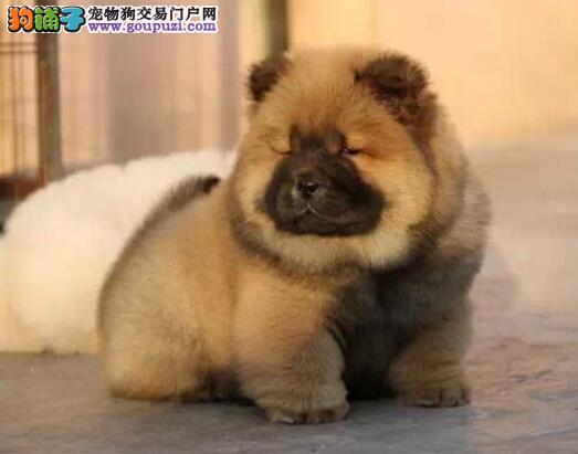 正规犬舍高品质松狮带证书赠送全套宠物用品