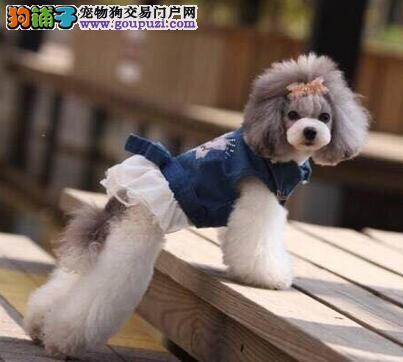 武汉繁殖基地出售多种颜色的贵宾犬品质保障可全国送货