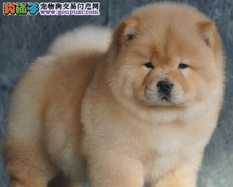 广州大型犬舍出售松狮犬 不掉毛眼睛雪亮紫舌头品相好