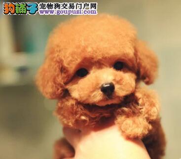 专业的泰迪犬犬舍终身保健康周边免费送货