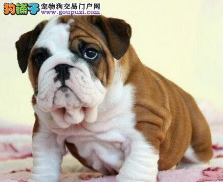 转让家养的广州斗牛幼犬 随时欢迎大家上门挑选看狗