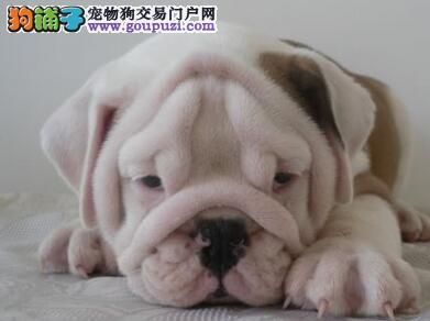 CKU犬舍认证成都出售纯种英国斗牛犬可直接微信视频挑选