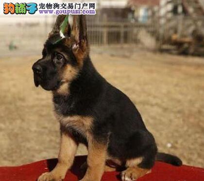 优秀大头锤系成都德国牧羊犬 欢迎来狗场考察看狗