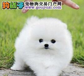 顶级优秀的纯种博美犬辽源热卖中质量三包多窝可选