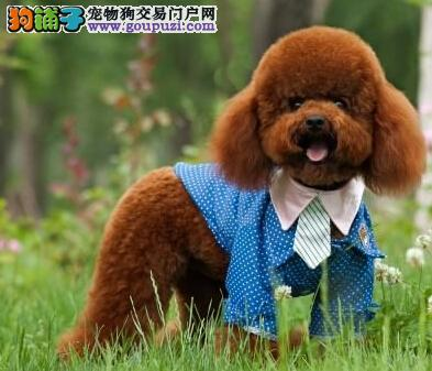 多只精品贵宾犬转让中南京周边地区购买可送狗粮