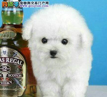 出售极品韩系临沂泰迪犬 乖巧可爱多只购买可享受优惠