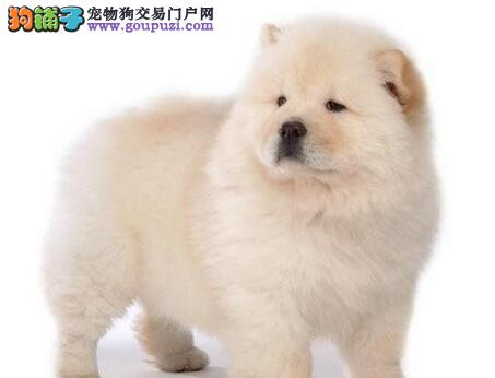 桂林大型犬舍直销纯种健康的松狮犬 请大家放心选购