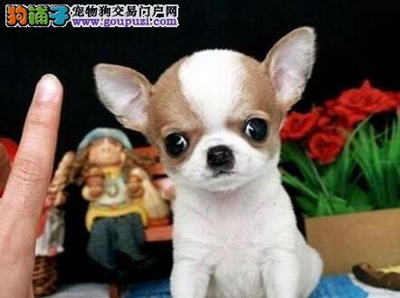 超小体大眼睛的吉娃娃找新主人 保定地区免费送货