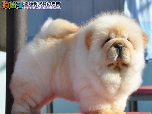 赛级品质专业繁殖松狮犬 天津狗场等你带走哦