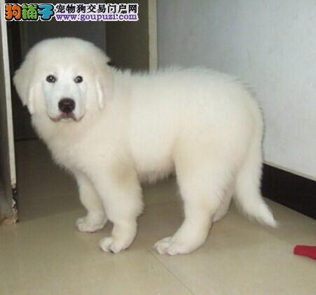售高品质大白熊幼犬 公母均有 多只可选
