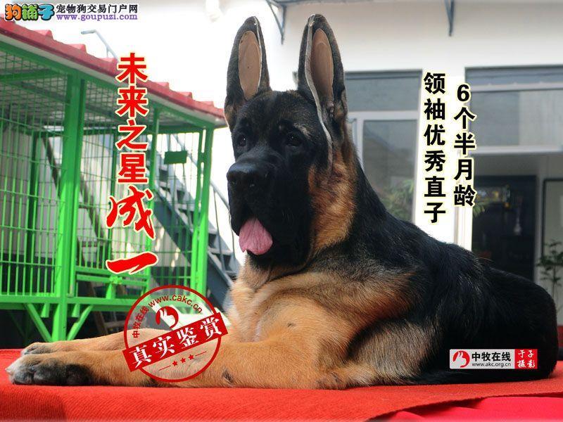 中国最知名的狼狗犬舍飞扬犬业德牧幼犬价格毛量足