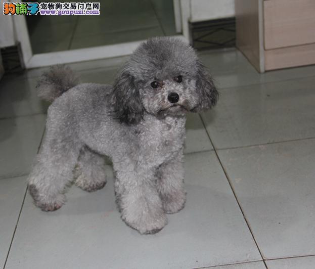 精品玩具体微小玩具体茶杯泰迪幼犬出售 CKU认证犬舍