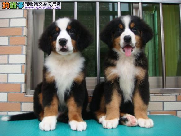 强壮有力 却又性情温顺的伴侣犬伯恩上幼犬出售
