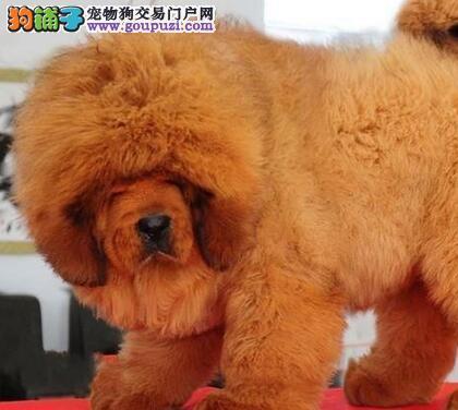 买精品大狮头獒幼犬请找本人.保纯种 保健康 保品质