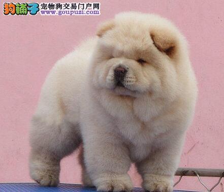 上海本地养殖场出售大嘴松狮犬 可视频看狗可空运发货
