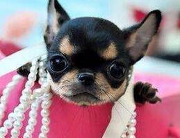 纯种健康的超小体兰州吉娃娃幼犬找新家 非诚勿扰