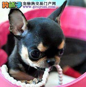 专业正规犬舍热卖优秀青岛吉娃娃欢迎爱狗人士上门选购