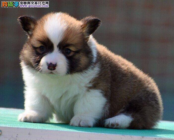 高品质纯种柯基犬 正规基地签约保障 达州预约看狗