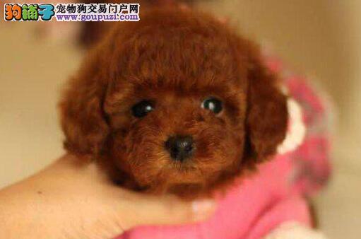 纯种贵宾犬出售不可思议的宠物泰迪