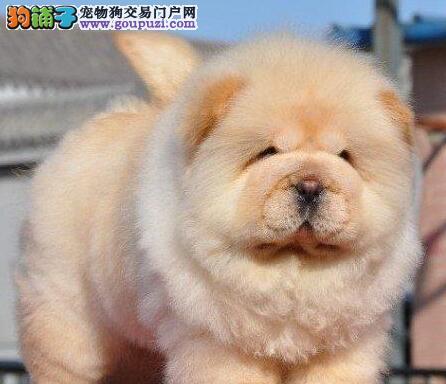 肉嘴紫舌头的杭州松狮犬找爸爸妈妈 求好心人士收留犬