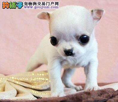 优秀可爱苹果头吉娃娃火爆出售 来重庆狗场购买可优惠