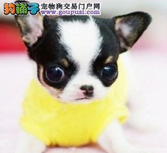 广州犬舍出售大眼睛苹果头吉娃娃幼犬 多窝可供挑选