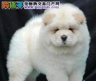 大嘴紫舌纯种福州松狮犬促销价格出售 质量三包有质保