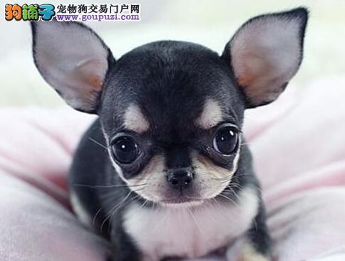 墨西哥纯血统的杭州吉娃娃幼犬转让 多窝可选可刷卡