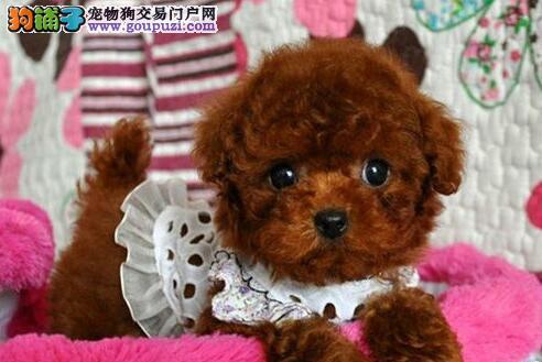 杭州专业繁殖纯种、高品质小体泰迪幼犬 可签订协议