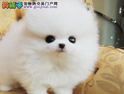 杭州繁殖基地直销纯种博美幼犬 多条可选同城可送货