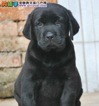 温和聪明听话的纯种拉布拉多幼犬西宁热销 包建康纯种