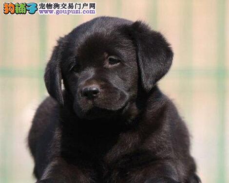 导盲犬拉布拉多银川出售中 保健康 终身免费饲养指导