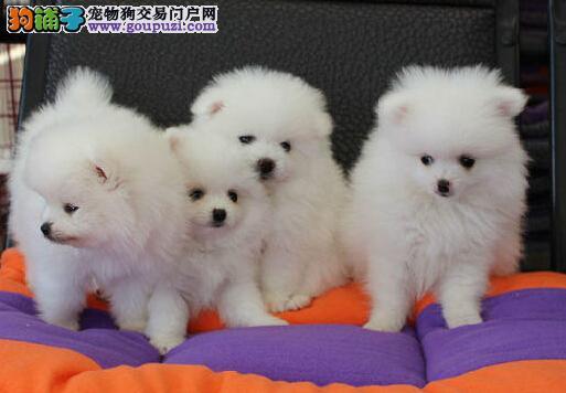 出售银川小体型纯白色哈多利球型博美幼犬 公母都有