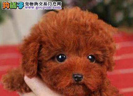 高品质泰迪犬宝宝 一宠一证视频挑选 质保健康90天