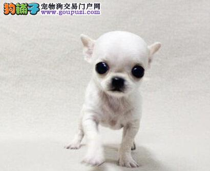 顶级优秀的纯种吉娃娃热卖中优惠出售中狗贩子勿扰