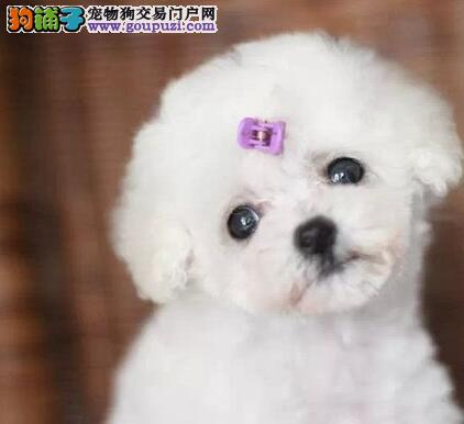 多只优秀极品韩系泰迪犬出售 北京附近建议上门挑选
