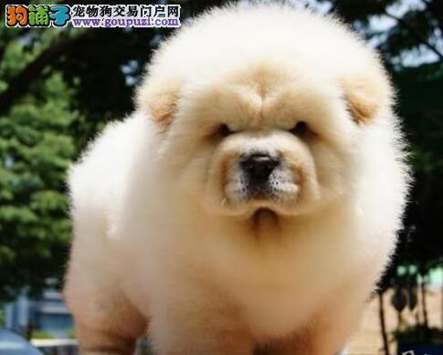 血统纯正身体健康的大嘴北京松狮犬 可接受预定质量好