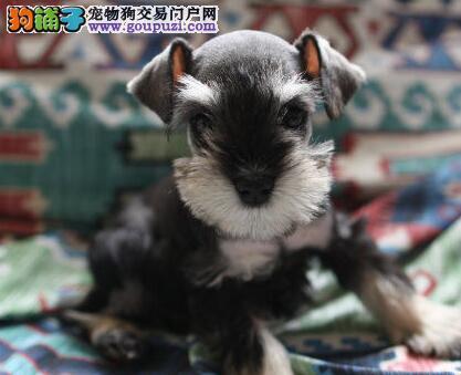 出售纯种椒盐色北京雪纳瑞 欢迎来犬舍直接考察购买