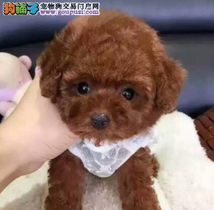 多种颜色的赛级泰迪犬幼犬寻找主人期待您的光临