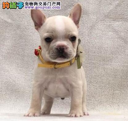 大鼻筋多种颜色的桂林斗牛犬出售中 幼犬多窝可以选择