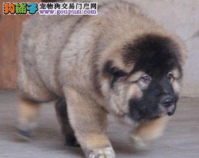 济南CKU认证犬舍出售高品质高加索品质优良诚信为本