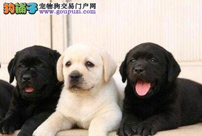 犬舍出售高品质健康杭州拉布拉多犬品质保证