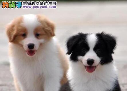 出售纯种白金汉宫血系合肥边境牧羊犬 价格可面谈