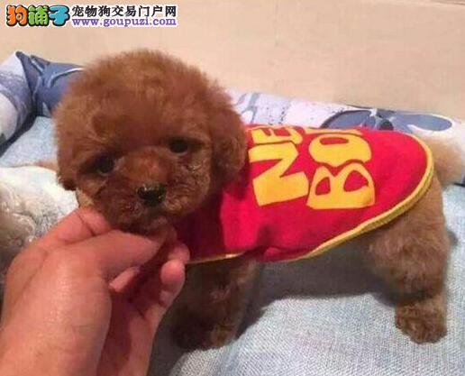 热销韩国血统的泰迪犬 建议来合肥上门购买可签协议