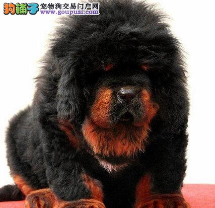 狮王血系藏獒特价出售中 武汉周边可免邮费支持空运