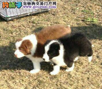 广州狗场出售纯种陨边牧羊犬幼犬,健康可爱