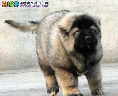 优秀吐鲁番高加索犬直销价格出售 可方面看狗可视频