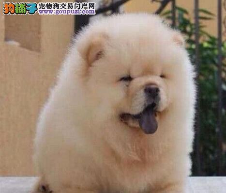 大嘴深圳松狮犬低价转让 可签订售后协议书售后好