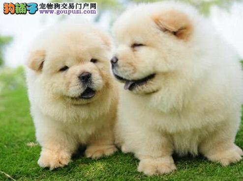 销售火爆进行中 纯种松狮犬重庆热卖 附售犬协议保品质